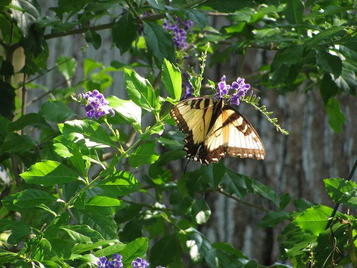 welcome to my garden pretty butterfly, gardening