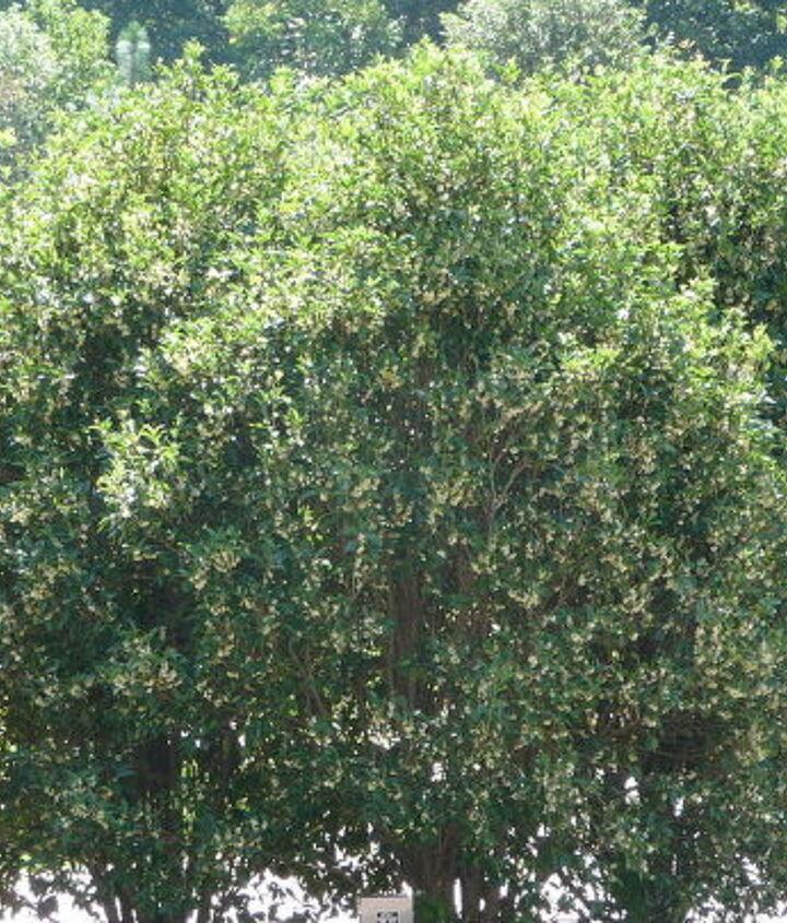 sweet smelling shrub tree in bloom, gardening