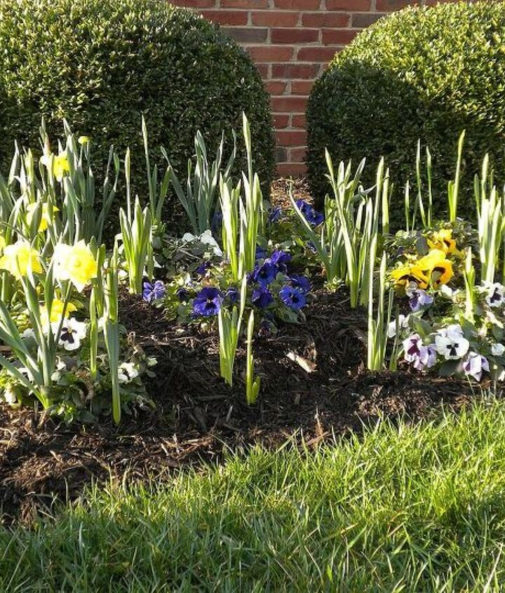 Wintered-over pansies & emerging daffodils (mid-March)