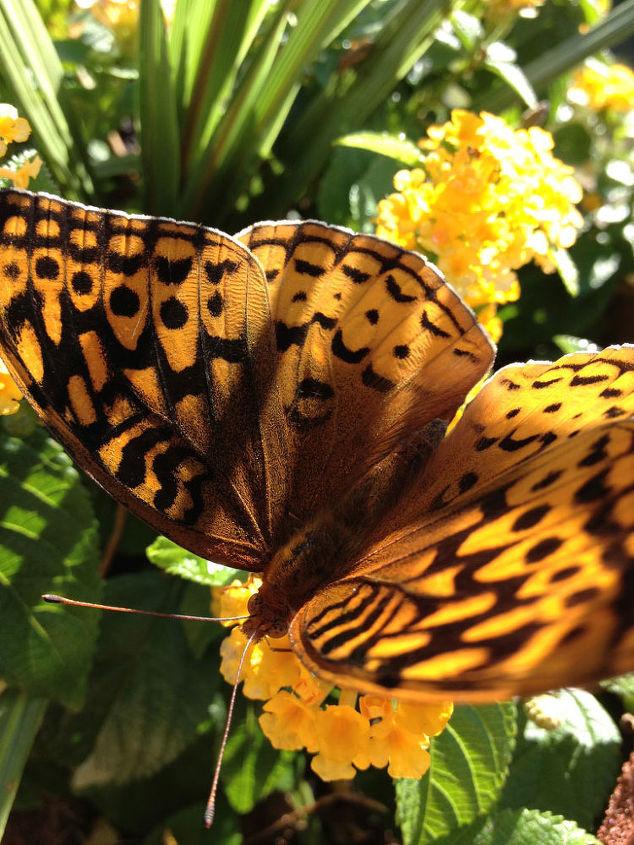 Lantana Attracts Butterflies