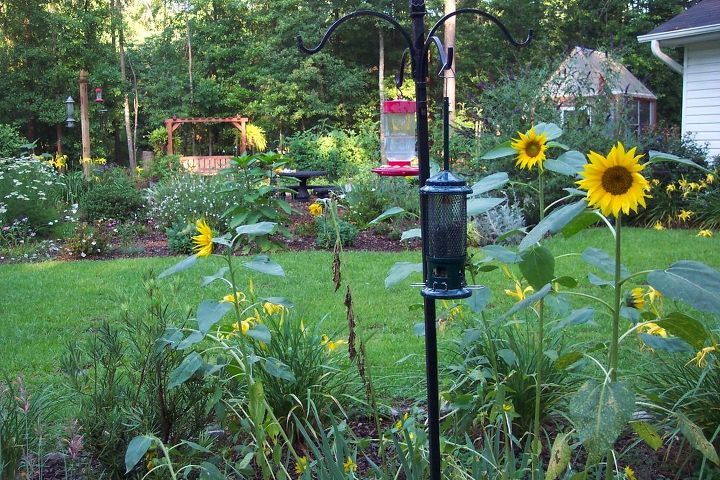 backyard and garden, flowers, gardening, outdoor living, Sunflowers from seeds dropped by birds or squirrels