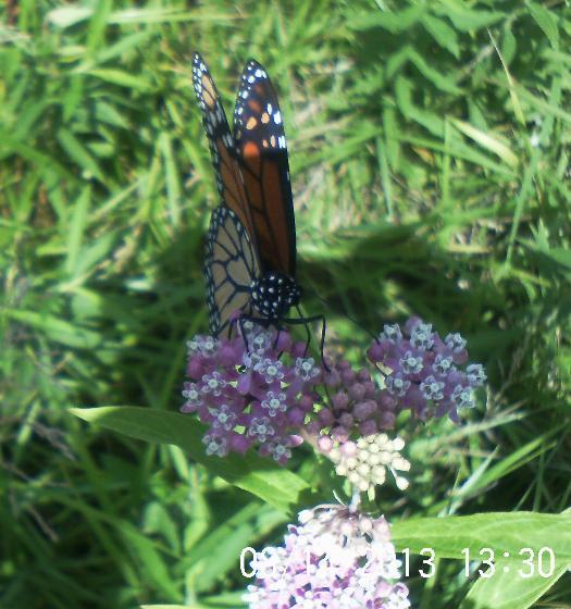 monarch butterfly, gardening, Monarch on Swamp milkweed