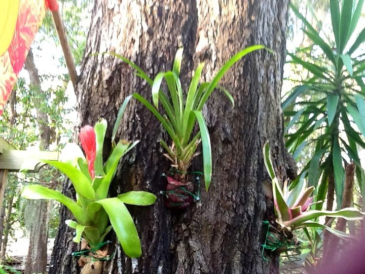 i secured these bromeliads to this tree by wrapping the root base in sphagnum moss, gardening