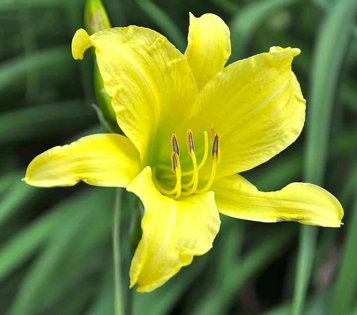 tips on growing daylilies, container gardening, flowers, gardening, perennials, Daylilies rank high on the list of plants resistant to insects and diseases
