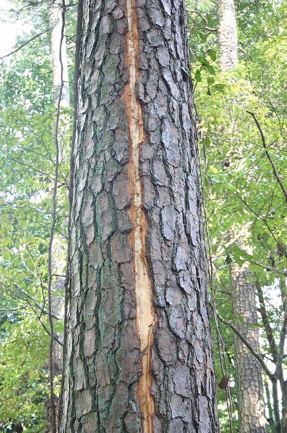 damage to pine