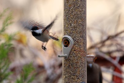 """A """"lone"""" chickadee (View One) uses the Droll's perch as a launching pad @  https://www.facebook.com/photo.php?fbid=433369373379108&set=pb.247917655257615.-2207520000.1372786253.&type=3&src=https%3A%2F%2Ffbcdn-sphotos-g-a.akamaihd.net%"""