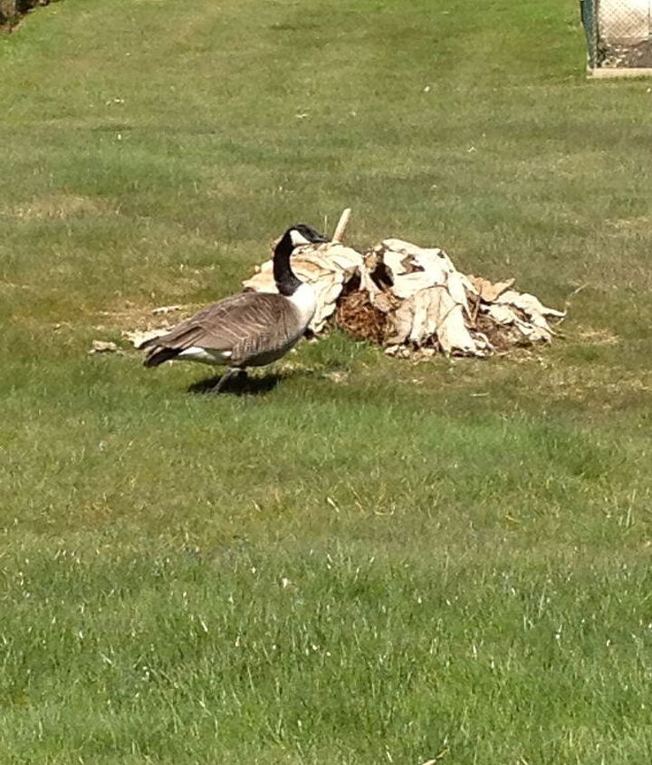 March 25th- I have a couple of Canadian geese that like to hang out in my yard every spring....he's walking in front of my Gunnera who's safely tucked away under his own leaves that I pile on every fall to protect him in winter.