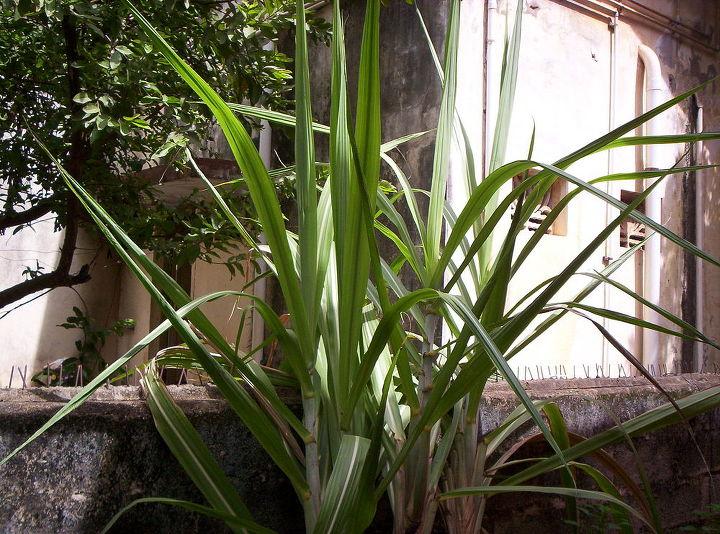 my minigarden, gardening, SUGARCANE