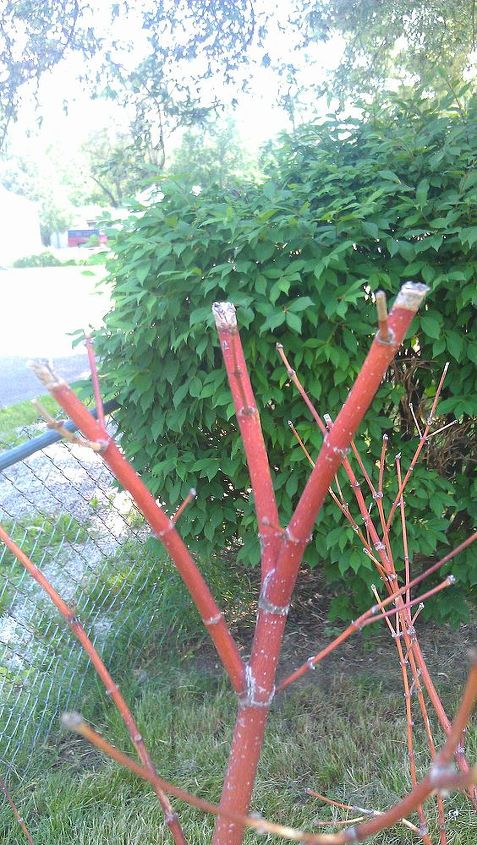 is something wrong with my mom s japanese maple, gardening, See the tips look like the end of a burning cigarette