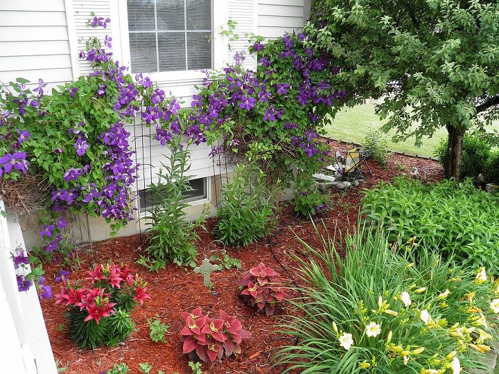 clematis in bloom front flower beds, flowers, gardening
