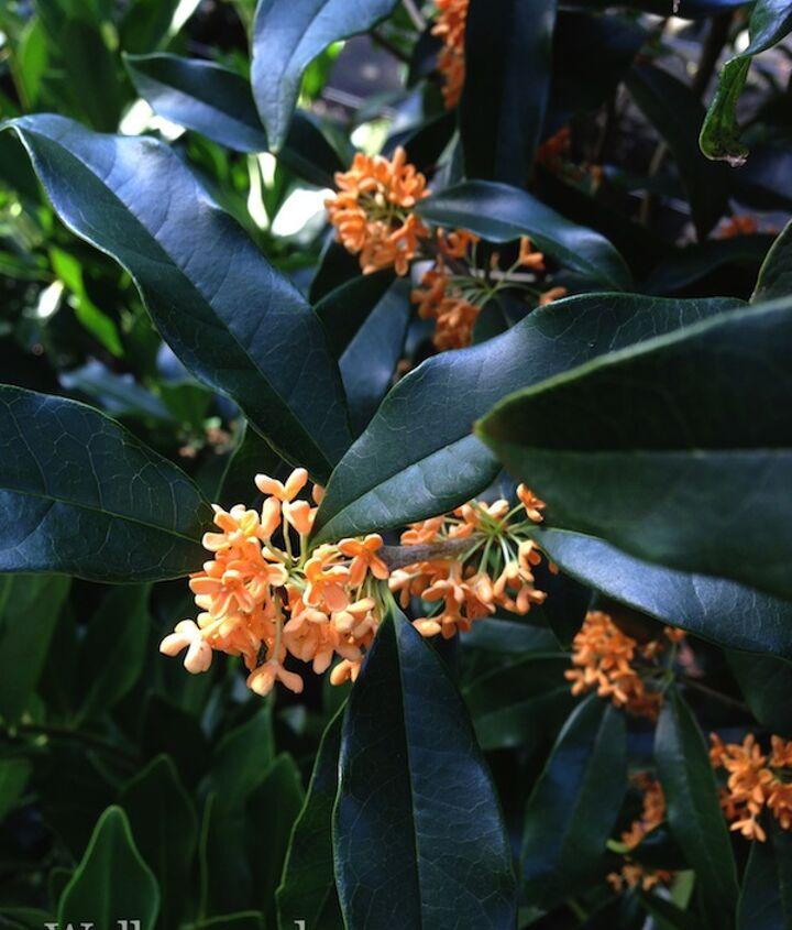 Tea Olives are fragrant and deer resistant.