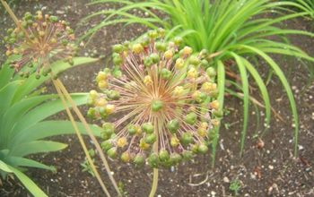 the art of seed saving, gardening, Decorative Allium going to seed