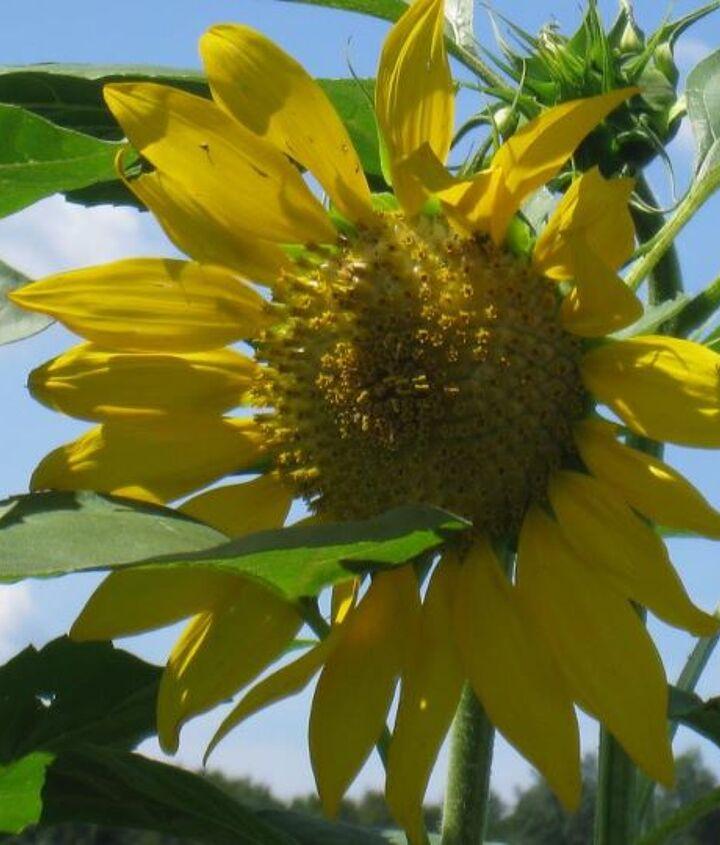 One of the beautiful sunflowers that grew in one of my backyard's rasied gardens.