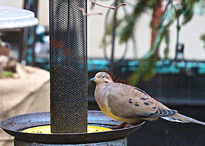A lone mourning dove  pauses before noshing from the Yellow NIGER Feeder. INFO on Mourning Doves @ http://www.thelastleafgardener.com/search/label/Mourning%20Doves AS WELL AS @ http://thelastleafgardener.tumblr.com/search/Mourning+Dove
