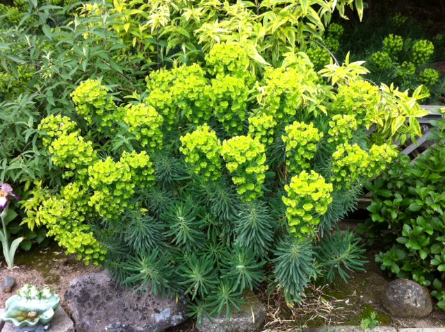 Euphorbia plants