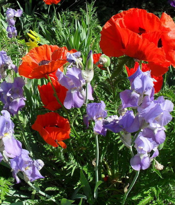 Red Poppies and Blue Iris, my favorite combination..