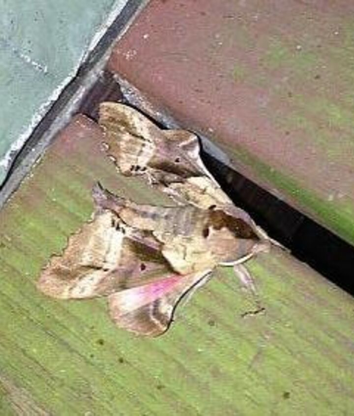 what kind of moth is this, gardening, pest control