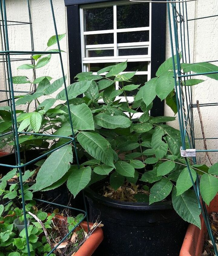 black walnut tree grown from seed. Where to plant?