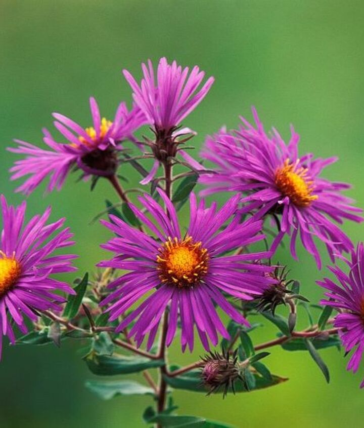 q asters in florida, gardening
