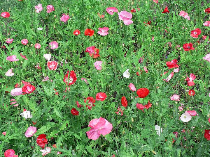 Poppy power.