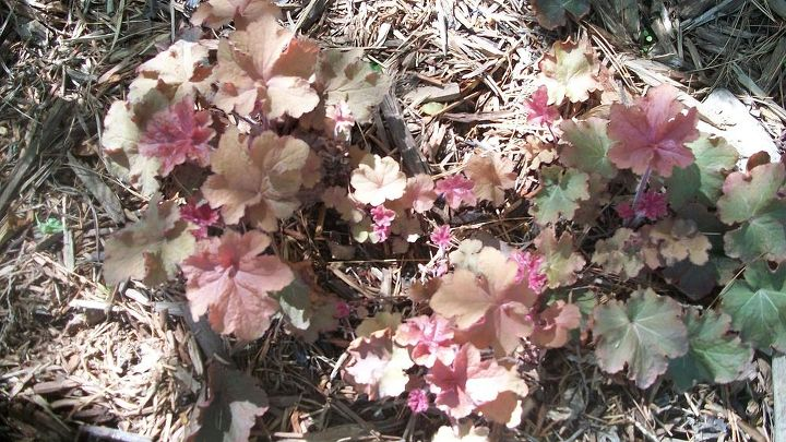 heuchera woody rejuvenate and propagate at the same time, gardening