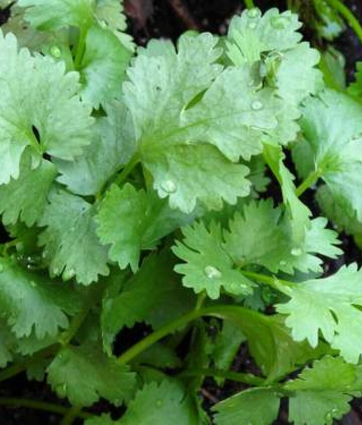 cilantro, gardening