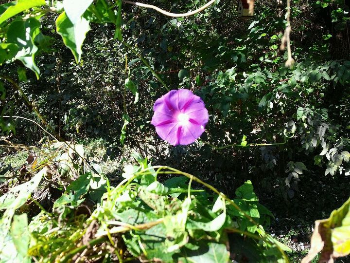 Though they can be a bit intrusive and aggravating I love Morning glories especially my favorite color (Purple)  this one has a beautiful star pattern