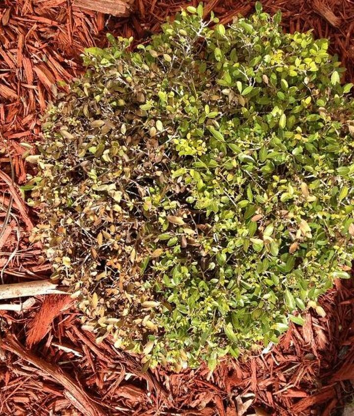 q boxwood leaves turn yellow and then end up with all dry leaves, gardening
