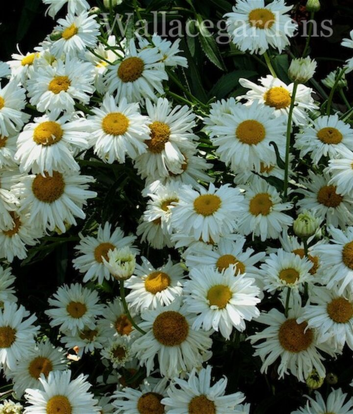Daisies - what's more American and #patriotic than a white daisy with a yellow eye?!