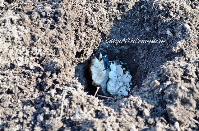 Add dead fish and crushed eggshells to your planting hole to prevent blossom end rot