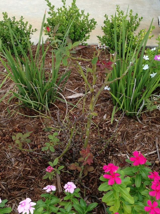 any idea what could be going on with my azaleas and knockout rose bush, gardening