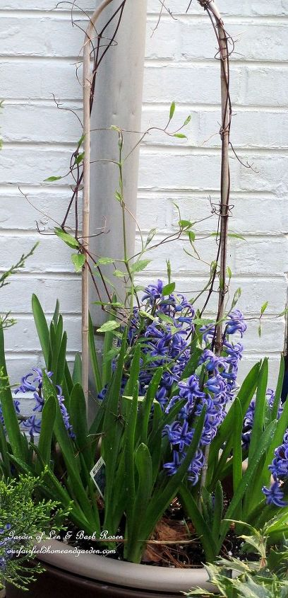 Clematis vine under planted with Hyacinths