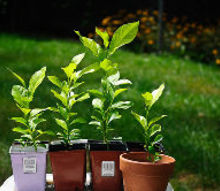 start your own lemon trees from seed, gardening, homesteading, All my babies