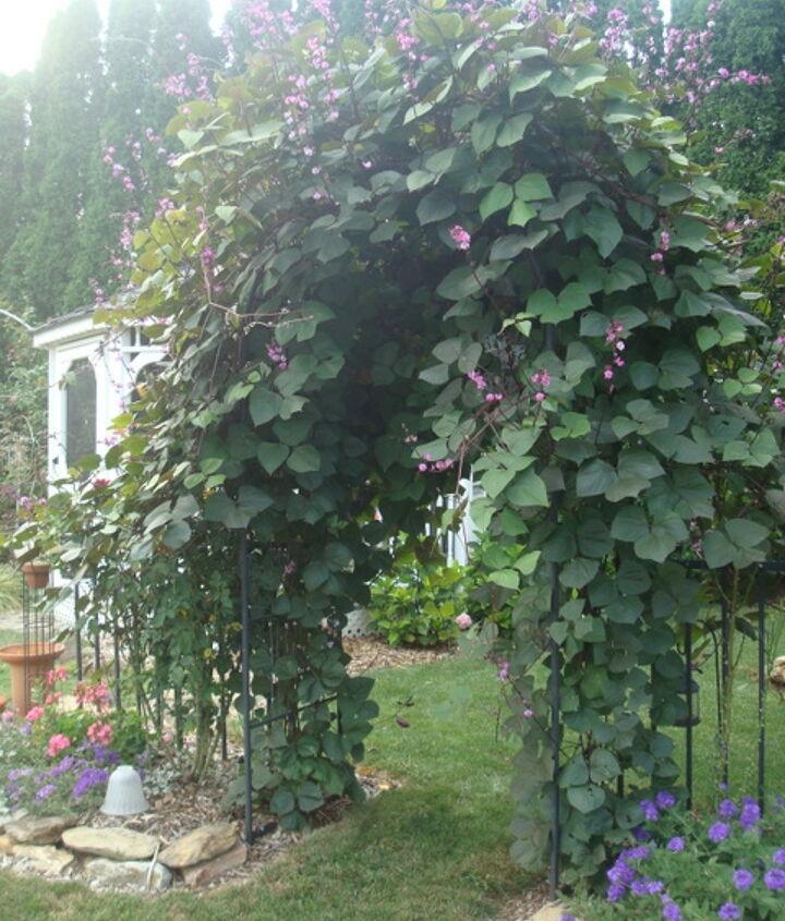 Hyacinth bean vine...so lovely!