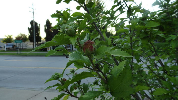 rose of sharon tree, gardening, One of the buds
