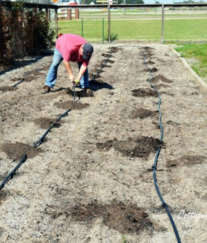 Plan how you will water your tomato plants-they need a consistent amount of water