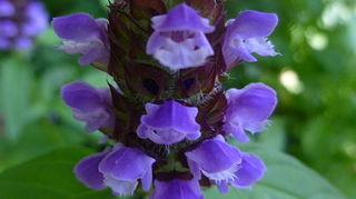 , Self heal prunella vulgaris picture from wikipedia