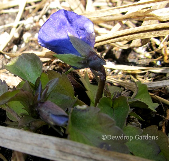 Pansies planted last fall putting out new buds.