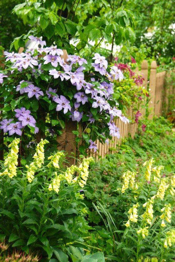 Digitalis grandiflora and Clematis 'William Kennett' in our garden this week.