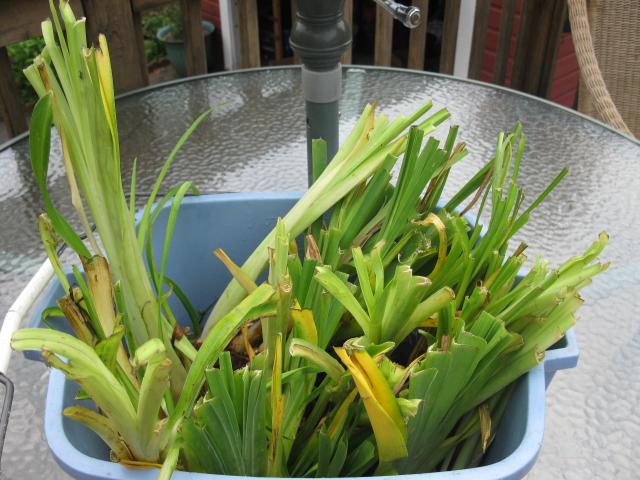 daylilies, gardening