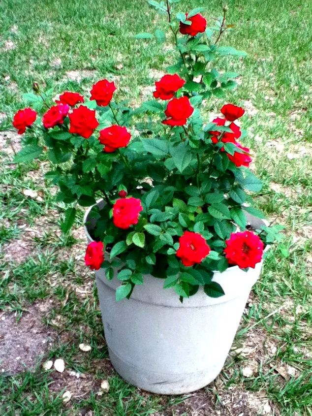 q should i transfer this rose plant to the ground what do you think, gardening