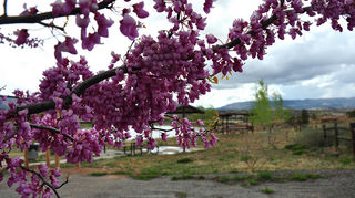 q what is it looks like a clamatis, gardening, redbud
