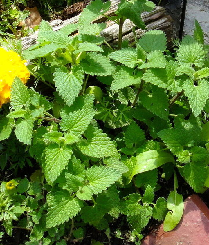 3. Lemon Catnip. Brew tea from its leaves and spray on plants to drive away flea beetles.