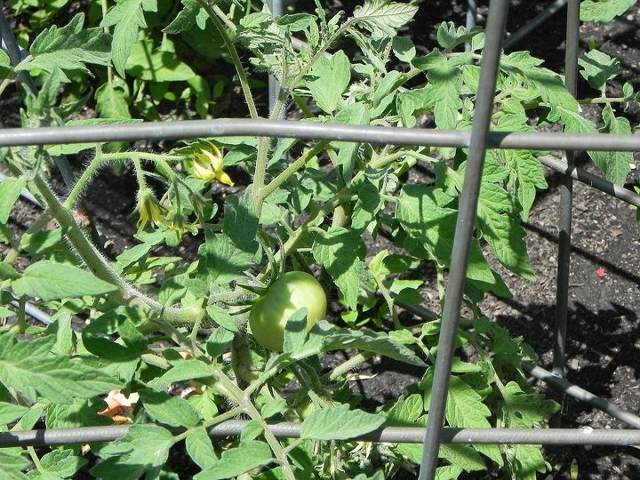 the first tomato!!!