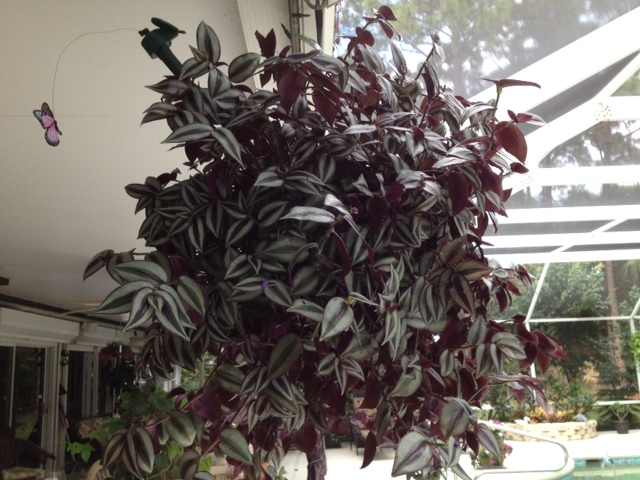 help with wandering jews, gardening
