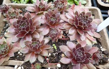 Sempervivum - How to Remake Your Hens and Chicks