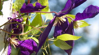 clematis will it live or will it not, container gardening, flowers, gardening, So Pretty
