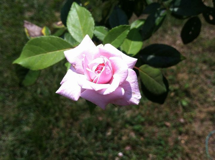 A small rose from my bush.  I do not know the name of the rose.  I call it an old-fashioned rose.