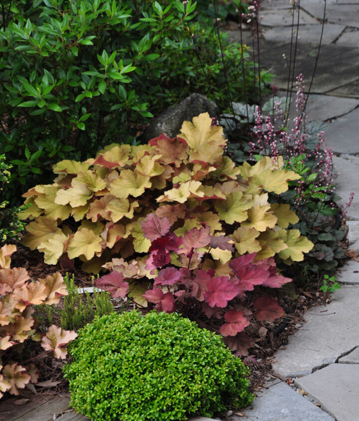 A mix of Heuchera and the green mounded plant is a 10 yr. old Buxus microphylla 'Kingsville'. See the blog post for details.