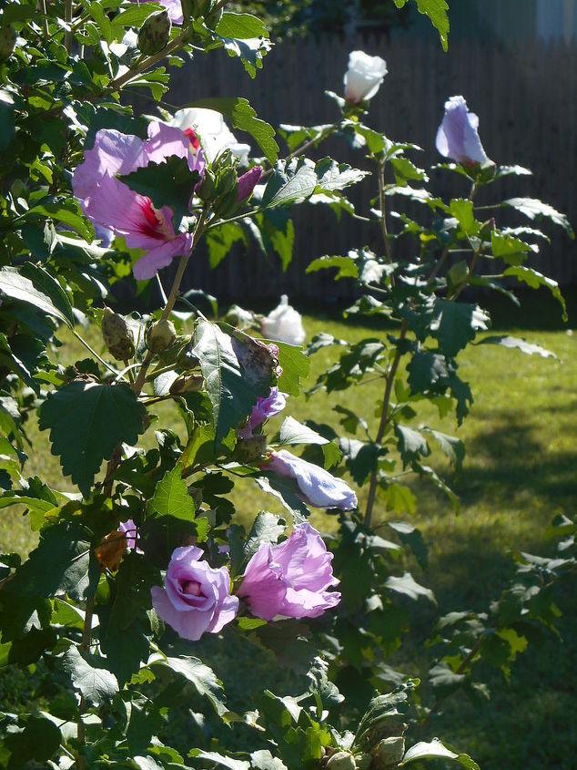 More blossom on my Rose of Sharron.